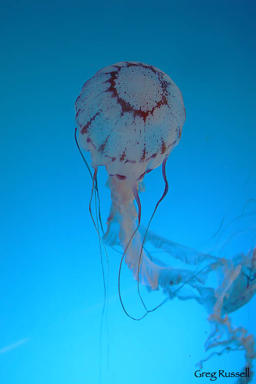 Sea Jelly
