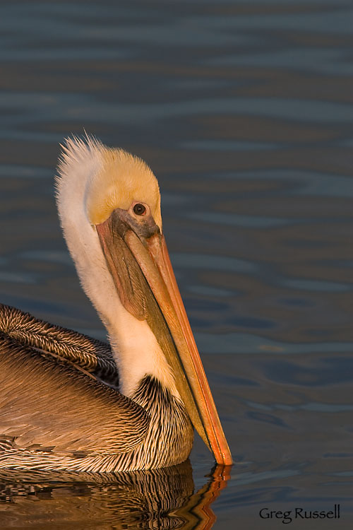Brown Pelican, Pelecanus occidentalis, December 2009