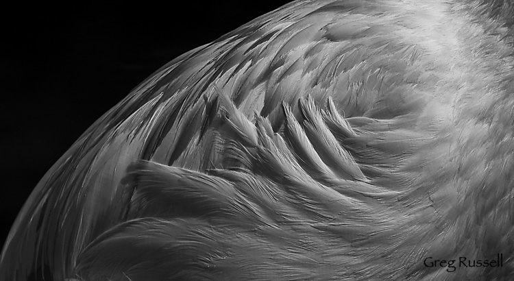 Flamingo feathers, detail black and white
