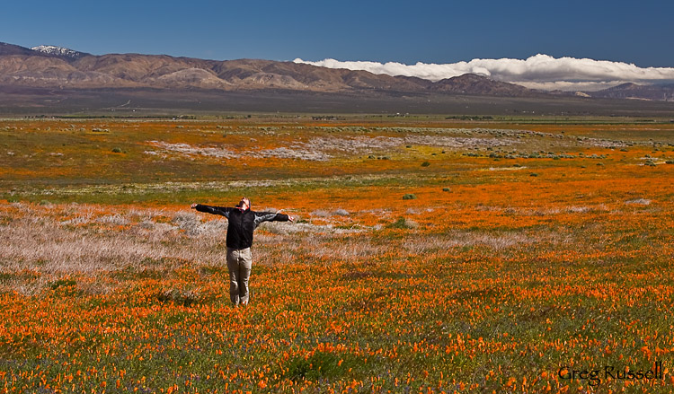 A hiker exalts in a field of California poppies (Eschscholzia californica)