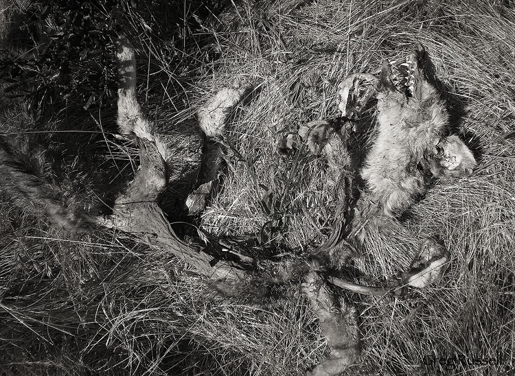 carcass of a gray fox (Urocyon cinereoargenteus)