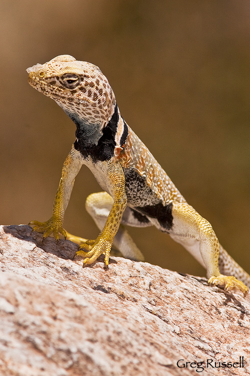 great basin collared lizard, joshua tree national park, california