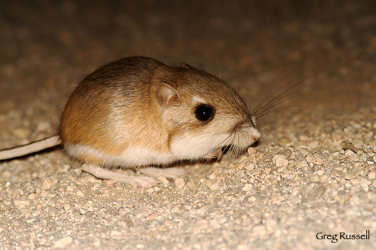 Merriam's Kangaroo Rat, Joshua Tree National Park