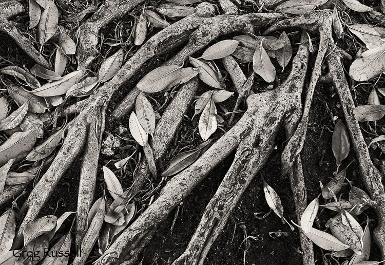 fig roots and leaves in balboa park, san diego