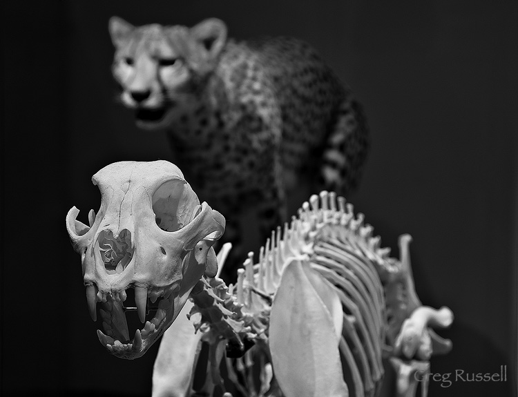 a cheetah (acinonyx jubatus) and its skeleton at the los angeles county natural history museum