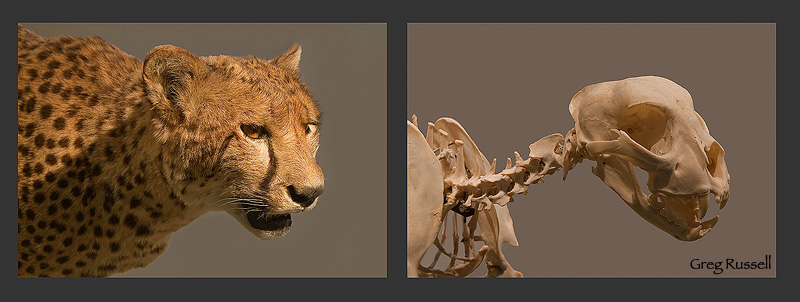 a diptych of a cheetah and its skeleton