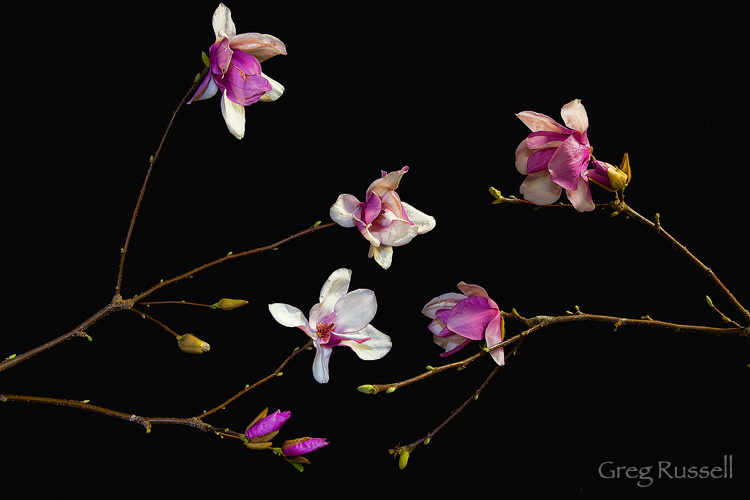 Image of Magnolia Blossoms made in a home studio