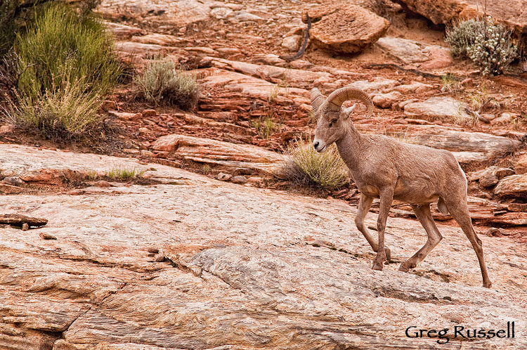 Desert Bighorn Sheep (Ovis canadensis nelsoni), Capitol Reef National Park, Utah