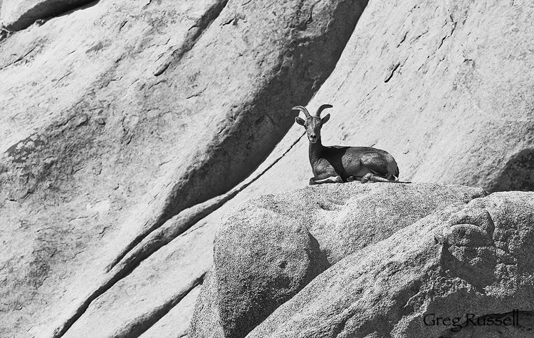 Desert Bighorn Sheep (Ovis canadensis nelsoni) in Joshua Tree