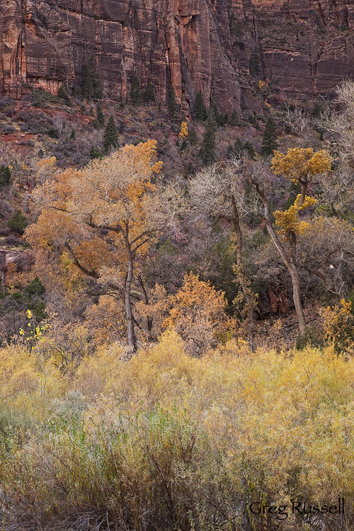Fremont cottonwoods in autumn foliage, Zion National Park, Utah