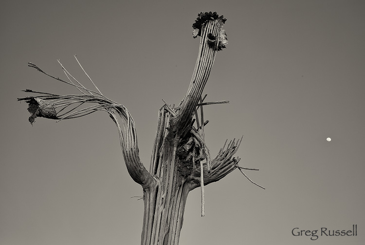 Saguaro Skeleton, near Phoenix Arizona