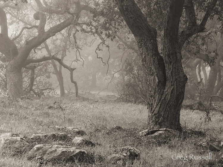 Gnarled oaks at the Santa Rosa Plateau Ecological Reserve
