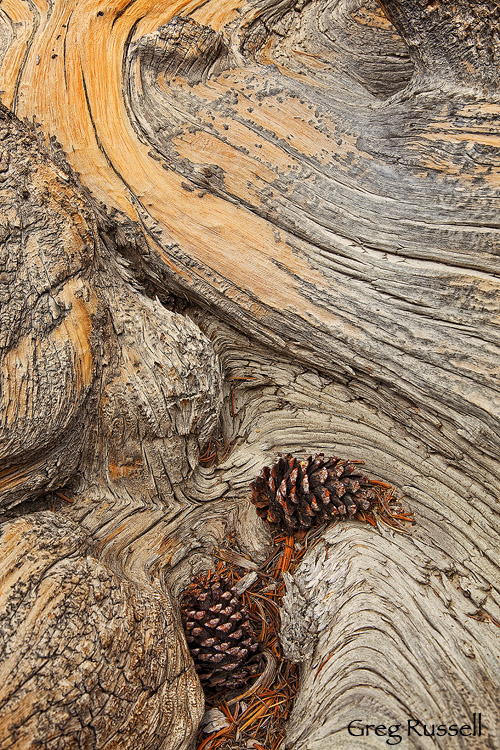 Detail of a bristlecone pine trunk