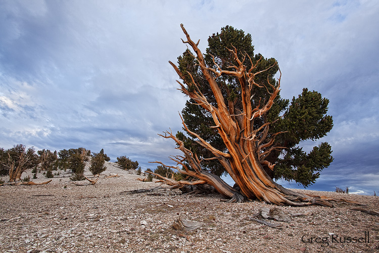 Great Basin bristlecone pine (Pinus longaeva) and summer storm clouds