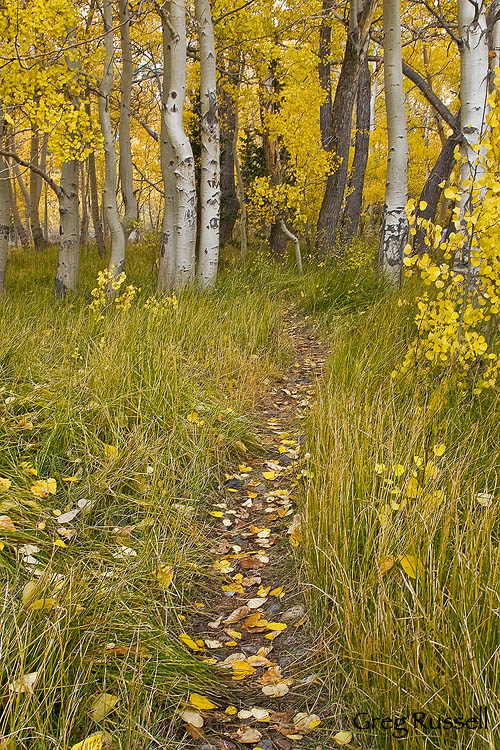 Trail and aspens in the Sierra Nevada Mountains