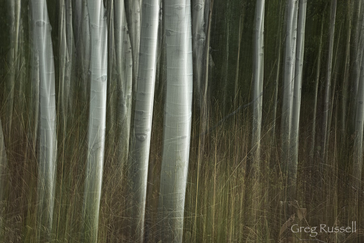 Vertical pan blur of aspen trees (Populus tremuloides)