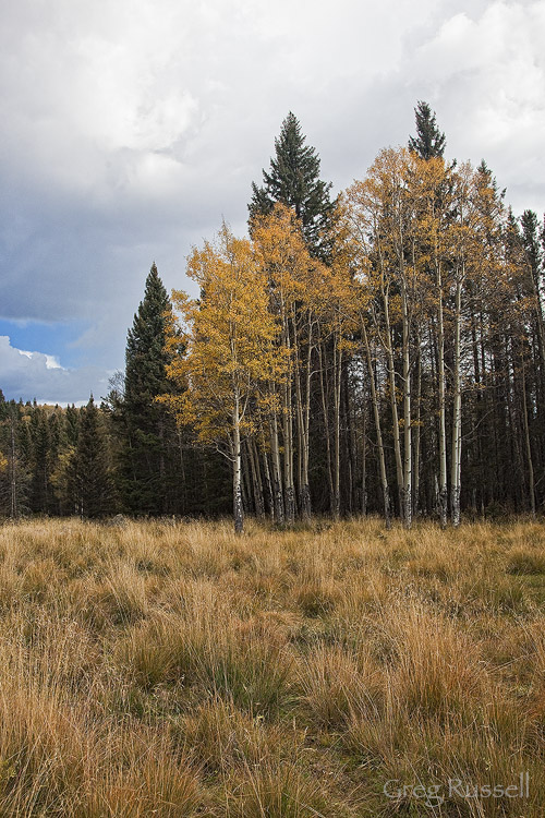 Grove of aspen trees (Populus tremuloides) in autumn