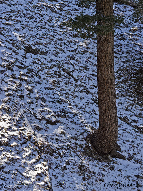 A ponderosa pine tree standing in a fresh dusting of snow