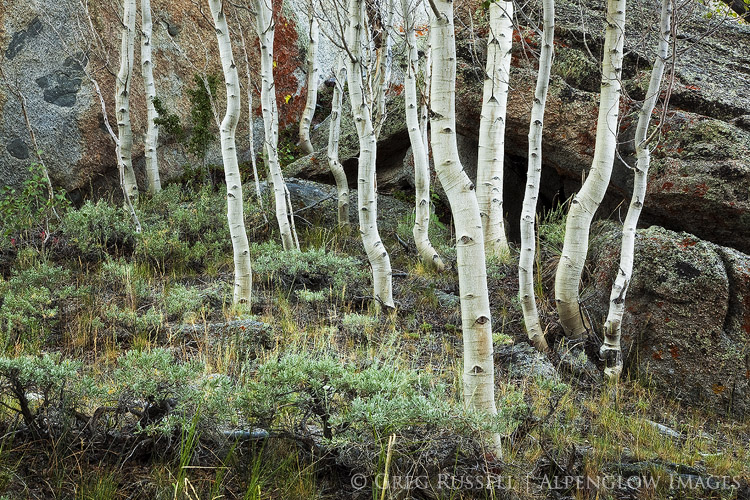 Aspens and granite boulders
