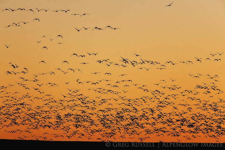 snow geese on an evening fly out, bosque del apache