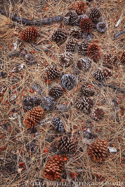Pines cones and pine needles
