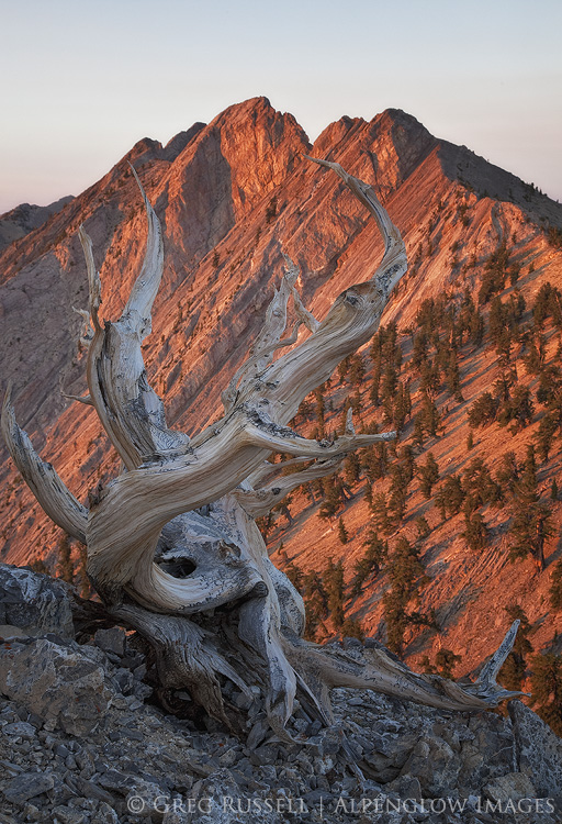 photo of a bristlecone pine and currant mountain at sunrise