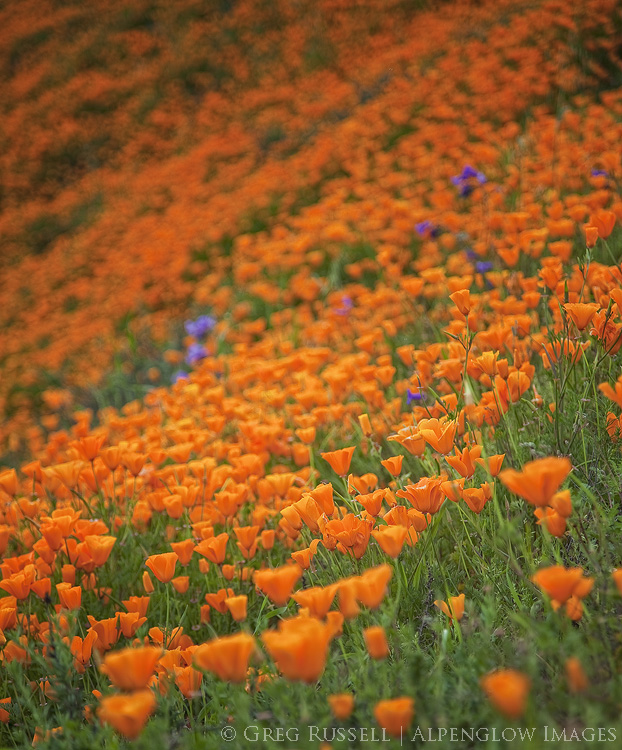 photo of poppies and other wildflowers in southern california during the 2017 super bloom
