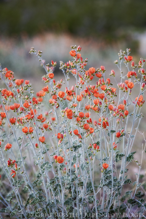 photo of apricot globe mallow in gold butte national monument, nevada