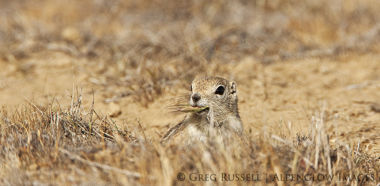 antelope ground squirrel with grass in its mouth at carrizo plain national monument in southern california