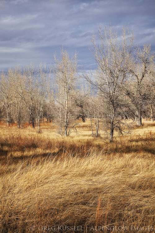 photo of leafless cottonwood trees and tall grasses in fall colors along the platte river in western Nebraska