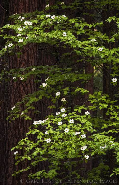 photo of dogwood blossoms in Yosemite Valley California
