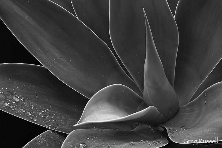 Black and white image of an agave