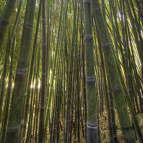 Bamboo at the Huntington Garden, California