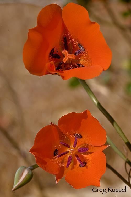 Alpenglow Images Mariposa Lily Photographs By Greg Russell