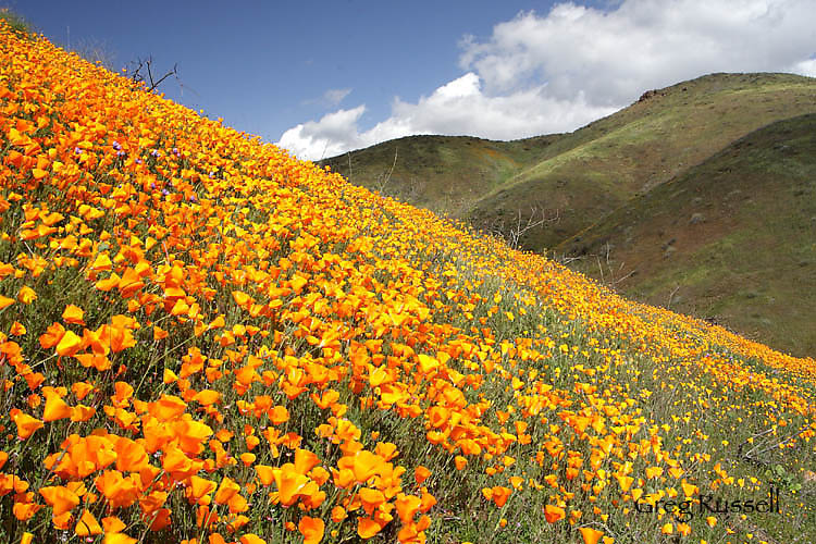 California poppies near Lake Elsinore California