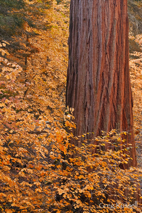 A giant sequoia tree (Sequoiadendron giganteum) in autumn, Sequoia National Park, California