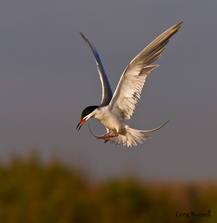 Common tern landing at Bolsa Chica Wetlands