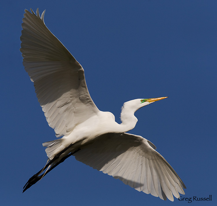 Common egret at bolsa chica wetlands