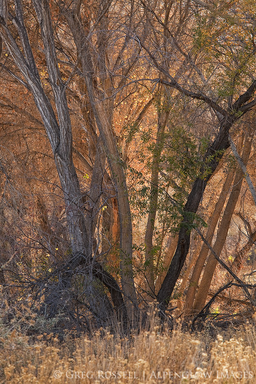 photo of backlit cottonwood trees with golden light shining through in the Sand to Snow National Monument
